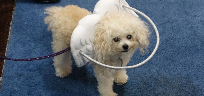 imagem de um cachorro poodle usando o acessório, uma espécie de bambolê preso em uma estrutura atrás da cabeça na forma de asinhas de anjo fixada em uma coleira feitoral, o aro de plástico fica horizontalmente na mesma linha dos olhos do animal, com sua circunferência ultrapassando o tamanho da cabeça e do focinho